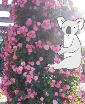 snsコアラとバラ.jpg